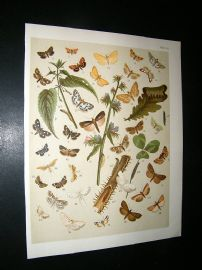 Kirby 1907 Pyraces, Pearls & Grass Moths etc 54. Antique Print